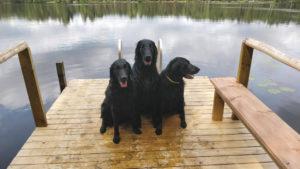 Sileäkarvainen noutaja - the dogs