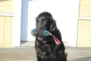 Minnie flatcoated retriever